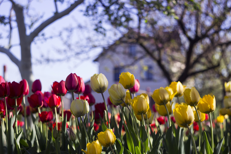 Yellow and red tulips with fringe on the background of trees and houses, spring flowers bloom in spring in the garden